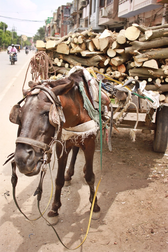 mule and his heavy load of wood in Amritsar, India