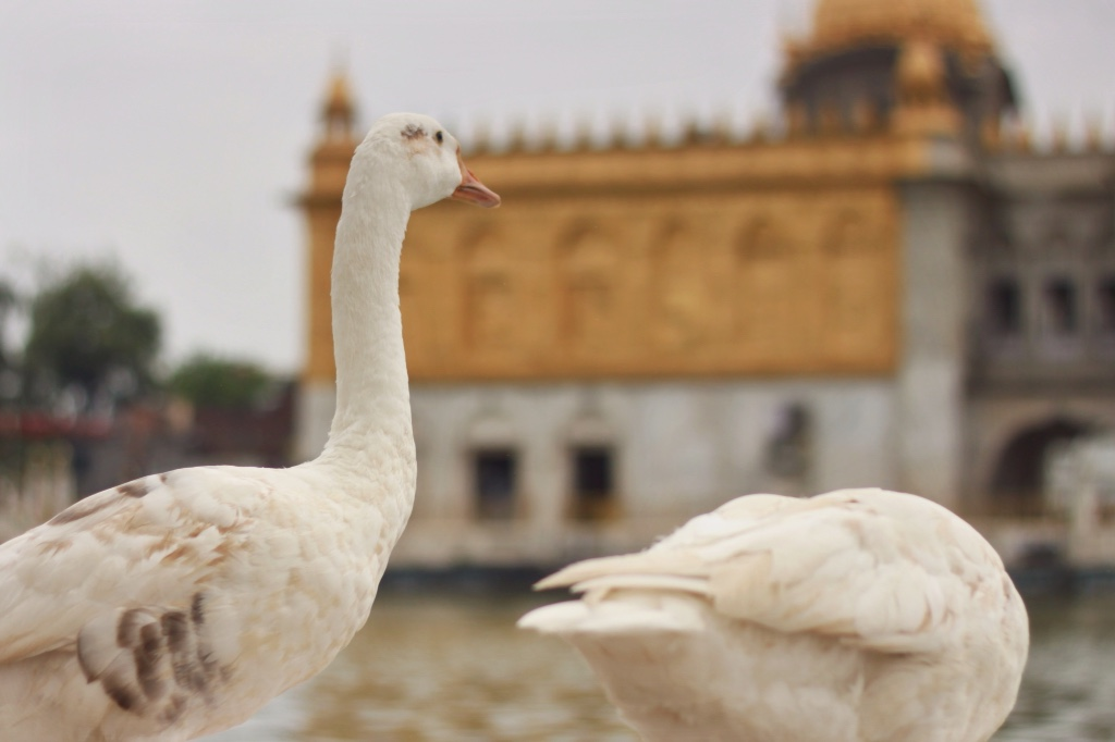 Ducks? Geese? Swans? at Durgiana Temple